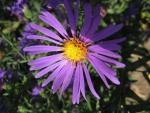 цветок сиреневый