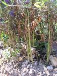 стебли высоких сентябриков