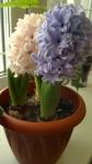 Цветут гиацинты