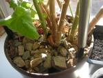 Несколько стеблей в одном горшке