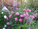 куст пиона розовый