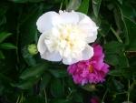 цветок пиона белый