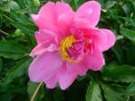 цветок пиона розовый