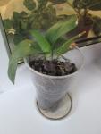 детка Орхидеи от цветка у которого срезала всю листву