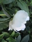 цветы пиона-  белый