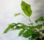 постоянно растут новые листочки!