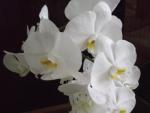 так выглядят цветки орхидеи