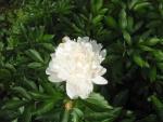 Цветок белого пиона