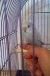 Петруша, ручной попугайчик, на фото птице 1,5 месяца