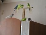 наши милые попугайчики