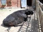 Корова (или бык) из детского зоопарка