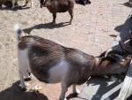 Карликовая коза