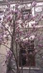Тюльпанное дерево в марте