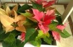 Пуансетия прекрасная  - красного и кремового цвета