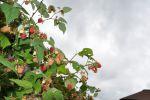 ягода-малина