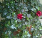 Цветки долго не живут - увядают за несколько дней