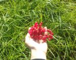 ягоды калины только что сорванные с куста
