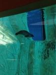 Морской котик в L'Oceanogràfic (Валенсия)