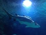 Акула в аквариуеме L'Oceanogràfic (Валенсия)