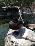 Утка в L'Oceanogràfic (Валенсия)