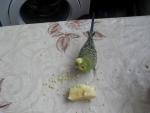 Волнистые попугаи очень любят яблоки