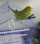 Волнистый попугай и ее домик