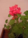 Цветок Герань розовая