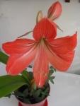Цветок «Гиппеаструм»