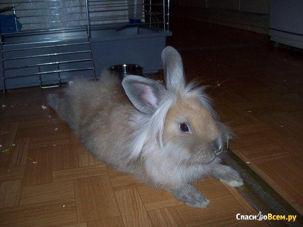 """Декоративный кролик породы """"Львиная головка"""" фото"""