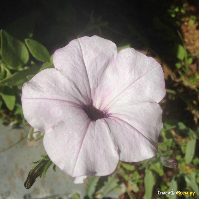 Садовый цветок Петунья фото