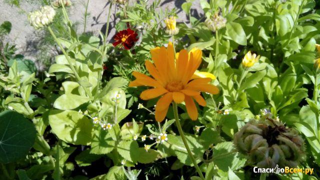 Календула лекарственная фото цветов