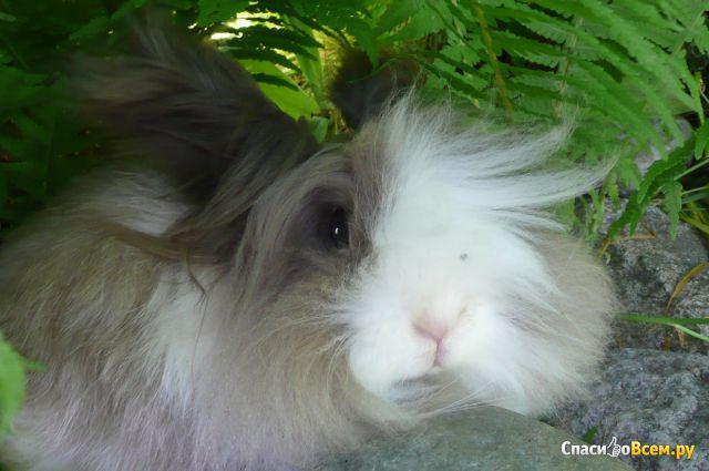Декоративный торчеухий кролик фото