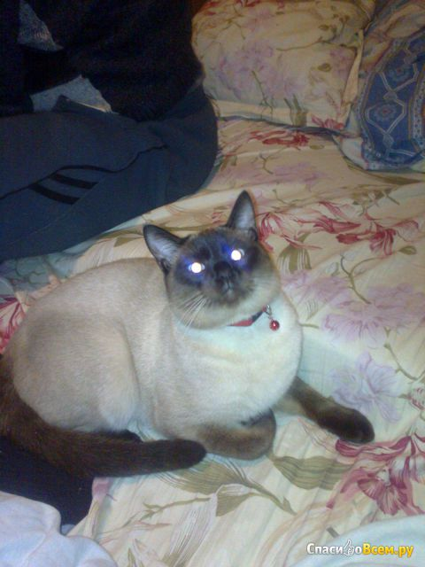 "Порода ""Сиамская кошка"" фото"