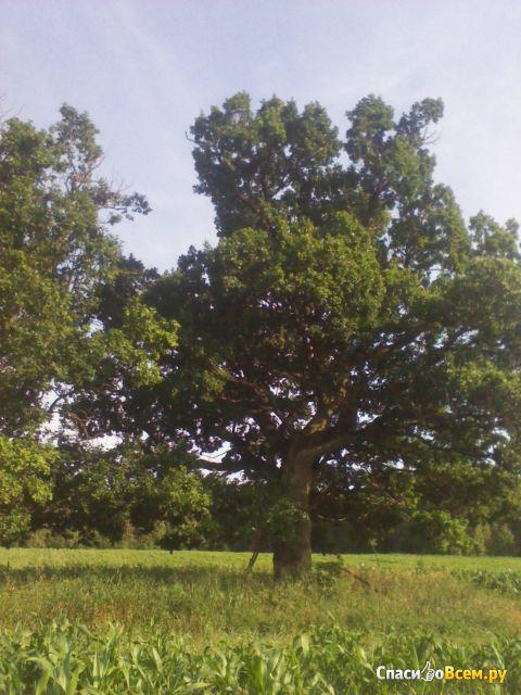 Растение Дуб фото