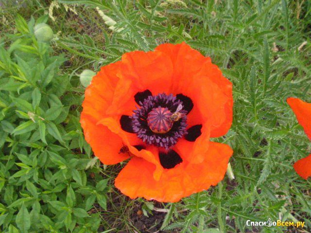 Цветок Мак фото