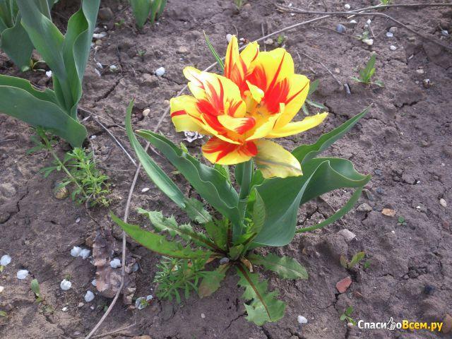 Цветок Тюльпан фото