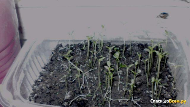 "Семена сельдерея корневого ""Диамант"" Bejo Zaden"