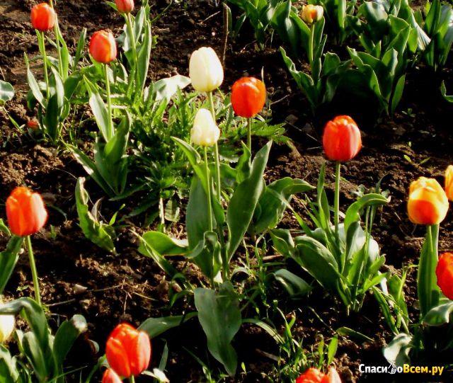 """Цветок тюльпан """"Слоновая кость"""" фото"""