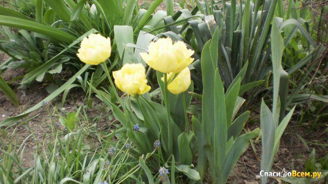 "Цветок тюльпан ""Mon Amour"" фото"