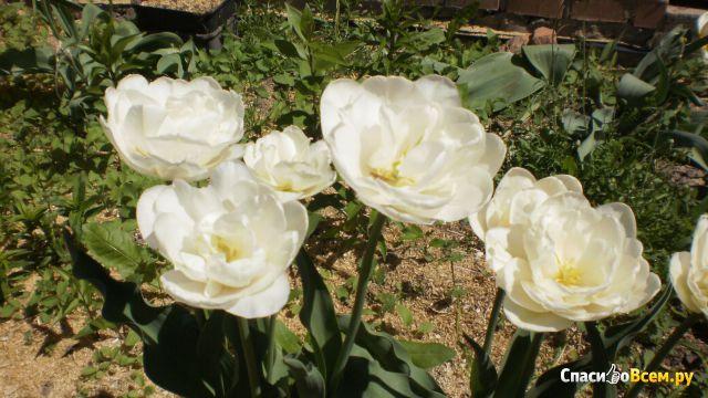 "Цветок тюльпан ""Mount Tacoma"" фото"