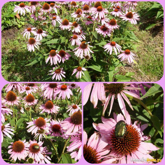 Растение Эхинацея фото