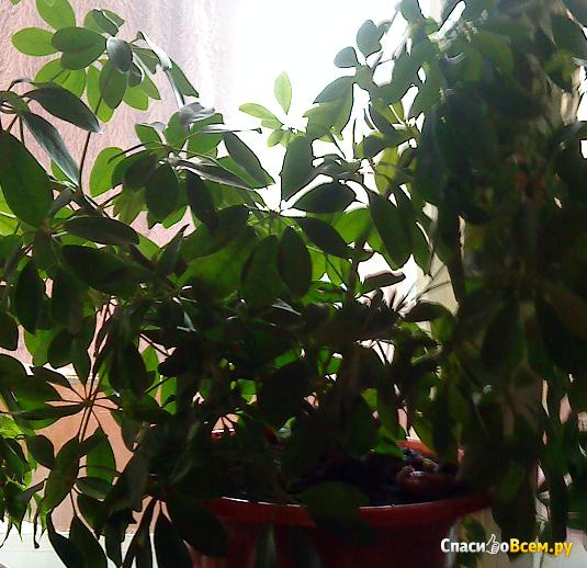 Растение Шеффлера фото