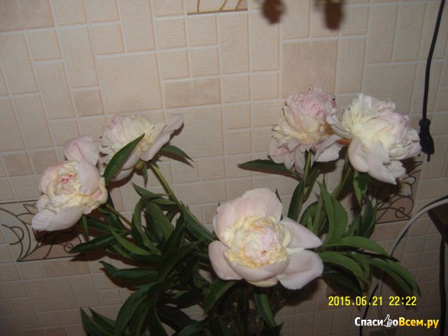 Цветок Пион фото