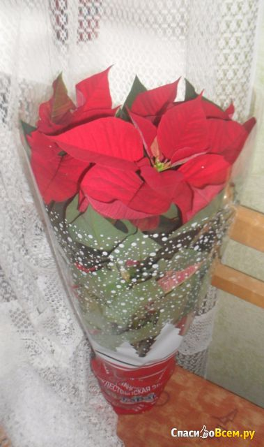Цветок Пуансетия (Рождественская звезда)