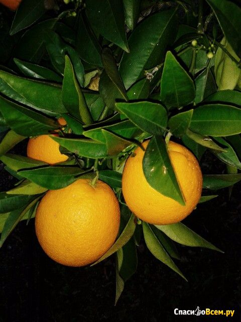 Апельсины Анталийские фото