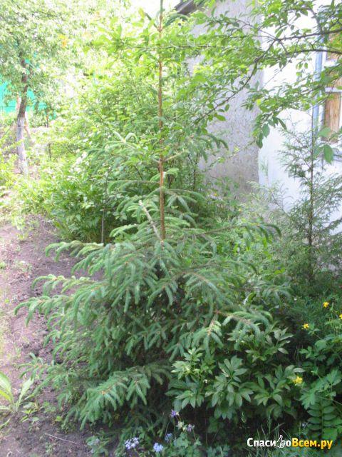 Растение Ель обыкновенная фото