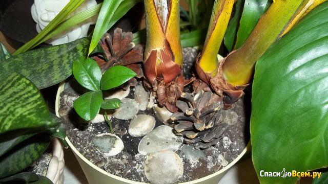 Растение Пальма Арека Хризалидокарпус фото