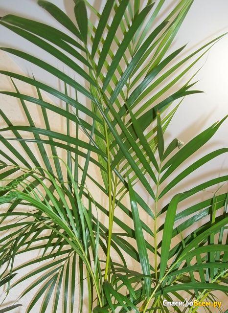 салоны мебели, сохнет хризолидо карпус пальма маслом