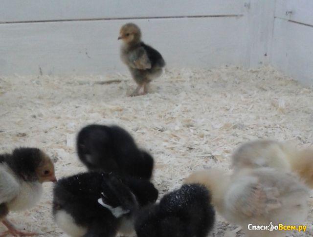 Домашняя курица фото