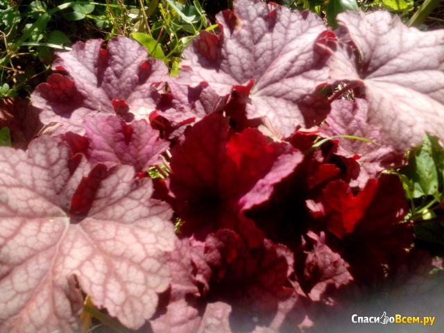 Растение Гейхера фото